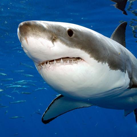 cartílago de tiburón